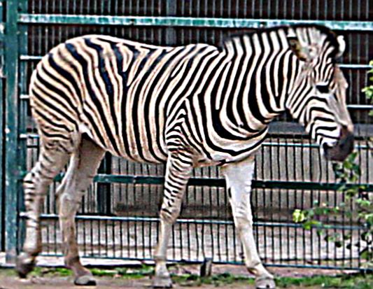 Vorschau 1. FC Union – die Zebras kommen